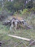 Giant tree stump royalty free stock photo