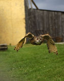 Giant eagle owl. Approaching giant eagle owl in the evening light Royalty Free Stock Photo