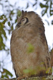 Giant eagle owl, (Bubo lacteus) royalty free stock image