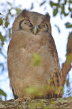 Giant eagle owl, (Bubo lacteus) Stock Photos