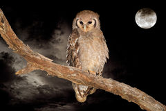 Giant eagle-owl and moon. A giant eagle-owl (Bubo lacteus) perched on a branch during the night with a full moon stock images