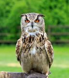 Giant Eagle Owl in perched looking directly at camera. Giant Eagle Owl perched on a glove looking directly ahead, with a natural country background Royalty Free Stock Photo