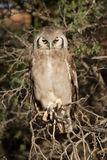Giant eagle owl sitting in a Kalahari tree sleeping during day Royalty Free Stock Images