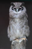 Giant eagle owl Stock Image