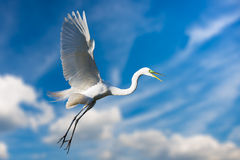 Giant Egret in Flight Stock Image