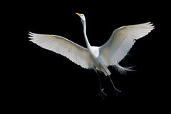 Giant Egret in Flight Stock Photo