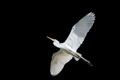 Giant Egret in Flight Royalty Free Stock Photo