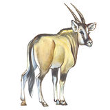 Giant Eland Stock Photos
