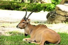 Eland sitting in zoo Royalty Free Stock Images