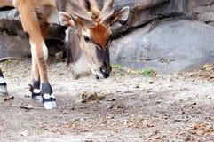 Giant eland Stock Image
