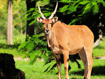 Free Giant Eland Posing Royalty Free Stock Photography - 21283377