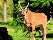 Giant Eland Posing Royalty Free Stock Photography