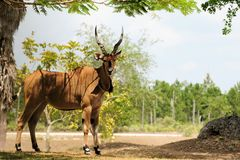 Giant eland posing Stock Photos