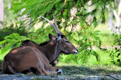 Giant Eland in the Shade Stock Photos
