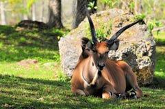 Giant eland, Taurotragus derbianus Royalty Free Stock Photography