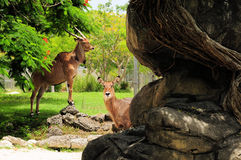 Giant Eland and Young. The Giant Eland is the largest antelope in the world.  Photographed in a South Florida zoo Stock Image