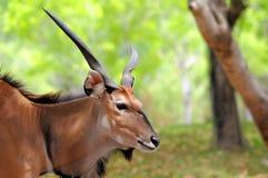 Giant eland in zoo, Florida Royalty Free Stock Photos