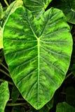Giant Elephant Ear Taro leaf,Alocasia macrorrhizos Stock Image
