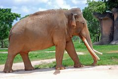 Giant Elephant Walking Uphill Stock Image