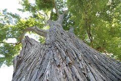 Giant elm tree Royalty Free Stock Images