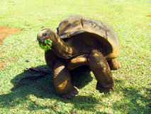 Giant endangered turtle eating green food in the tropical park in Mauritius Stock Photo