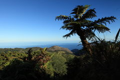 Giant endemic tree fern on remote St Helena Island. Endemic Tree Fern, Dicksonia Arborescens, growing on Dianas Peak National Park, the highest point on the Royalty Free Stock Photography