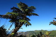 Giant endemic tree fern on remote St Helena Island Royalty Free Stock Photography