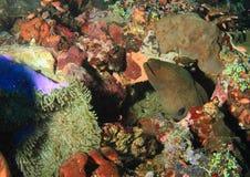 Giant estuarine moray Stock Images