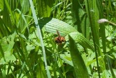 Giant European Hornet. European hornet (Vespa crabro) on a leaf Stock Images