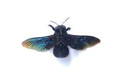 GIANT FAIRY BEE: CARPENTER BEE Breed Stock Image