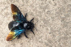 GIANT FAIRY BEE: CARPENTER BEE Breed Royalty Free Stock Images