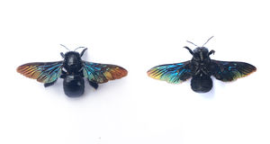 GIANT FAIRY BEE: CARPENTER BEE Breed Stock Images