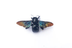 GIANT FAIRY BEE: CARPENTER BEE Breed Stock Image