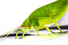 Giant False Leaf Katydid Pseudophyllus titan, Pseudophyllinae, Tettigoniidae isolated on white background. Wonderful animal on white background royalty free stock photography