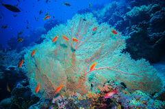 Giant fan (gorgonian) in the current Stock Photos