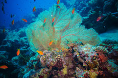 Giant fan (gorgonian) in the current Royalty Free Stock Images