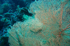 Giant fan (gorgonian) in the current Royalty Free Stock Image