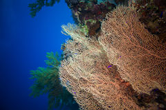 Giant fan (gorgonian) in the current Stock Photo