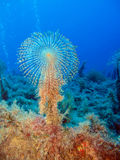 Giant Fan Worm (Sabella spallanzani) Stock Photos