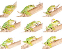 Giant Feae flying tree frog isolated on white Royalty Free Stock Photo