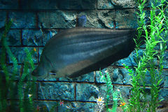 Giant featherback (Clown featherback). Freshwater fish species The scientific name Chitala lopis in notopteridae. (Notopteridae) is shaped like the other species royalty free stock photo