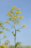 Giant fennel Stock Images