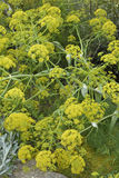 Giant Fennel Stock Image