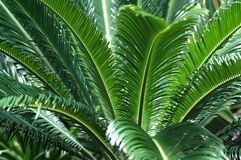 Giant fern Stock Photo