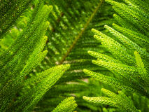 Giant fern detail Royalty Free Stock Images