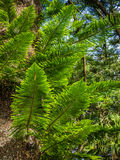Giant fern detail Stock Photography