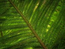 Giant fern detail Royalty Free Stock Image