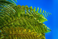 Giant fern Royalty Free Stock Photo
