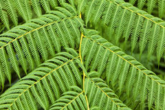 Giant Fern Leaves background Royalty Free Stock Image