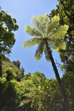Giant fern in native bush. Giant fern among other trees of native New Zealand bush Stock Image